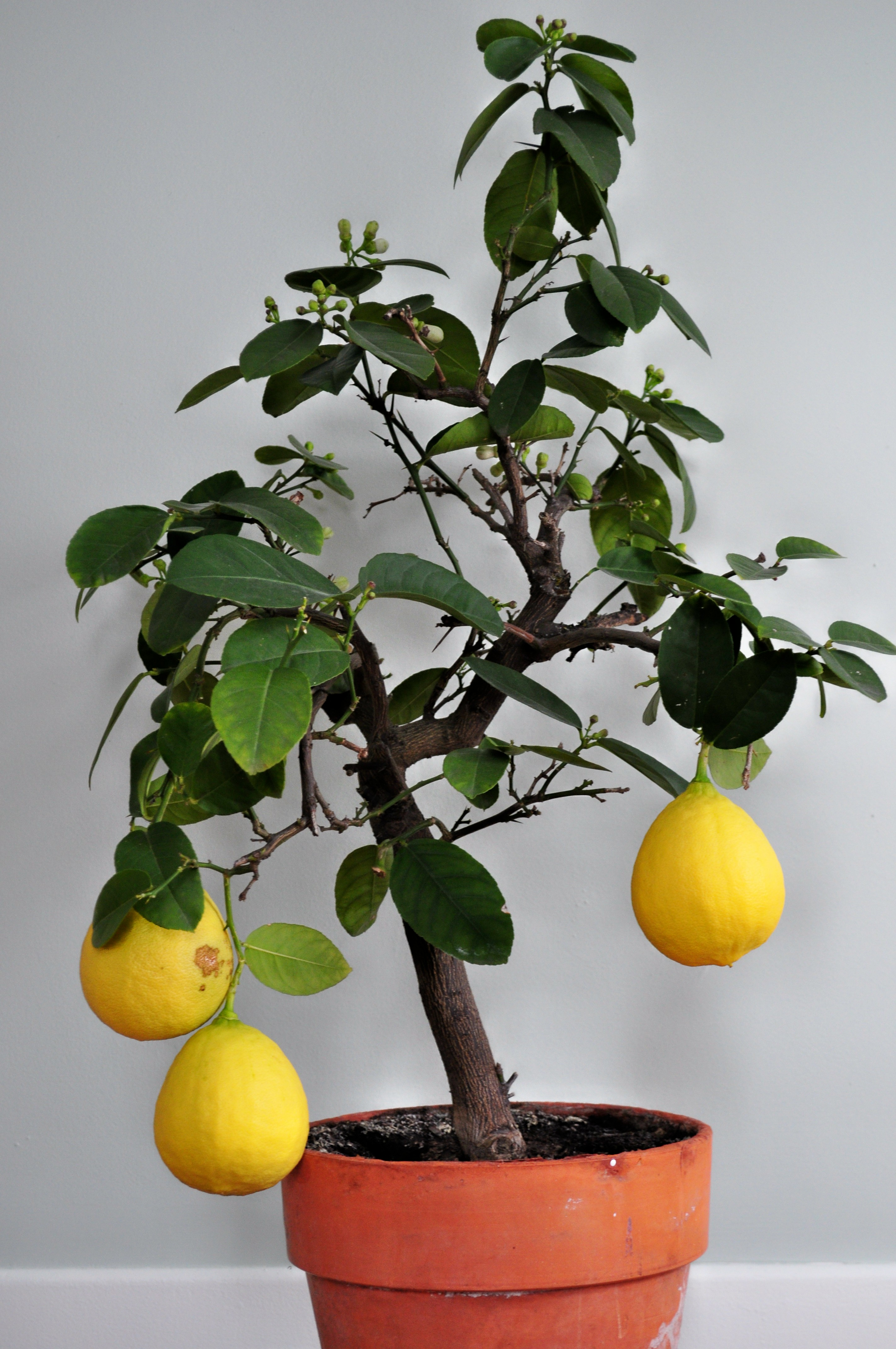 Six years later and i inherited his lemon tree fifty four years after